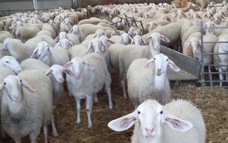 kaufen Sheep