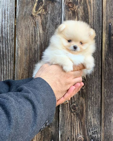 Buy Adorable gorgeous Pomeranian Puppy for sale
