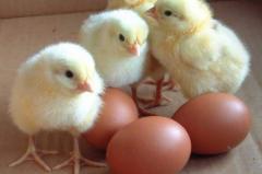 Schraffierung   Eier