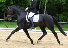 Super-talented Stallion with Grand Prix Potential