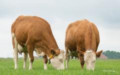 Fleckvieh  pregnant  milk race