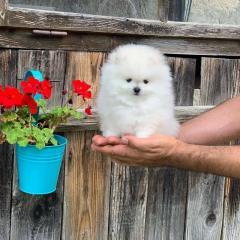 Очаровательный щенок померанского шпица