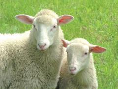 Faserkunde: Wolle