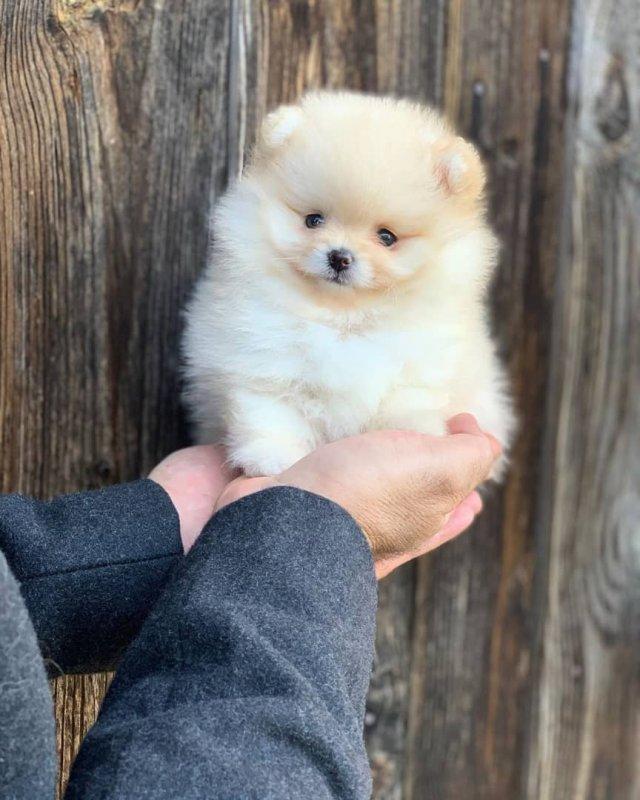 adorable_gorgeous_pomeranian_puppy_for_sale